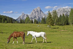 Horse summer in the mountains Stock Images