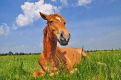 Horse on a summer pasture. Stock Photos