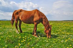 Horse on a summer pasture Stock Images