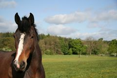 HOrse in a summer pasture. On a beautiful day a handsome horse in lush green pasture. Room for copy space stock photos