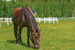 Horse grazing on a summer pasture Stock Image
