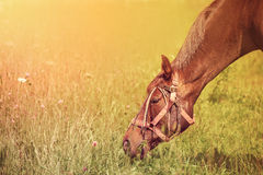 Horse grazing on a summer pasture Royalty Free Stock Photos