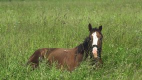 Horse on a summer pasture. Brown horse lies on the green grass on a summer pasture. Horses graze in the meadow. Horses grazing on the green pasture. 4K video stock video footage
