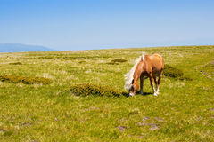 Horse on a summer pasture Royalty Free Stock Images