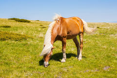 Horse on a summer pasture Royalty Free Stock Photo