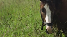 Horse on a summer pasture. Horses graze in the meadow. Horses grazing on the summer green pasture. 4K video stock footage