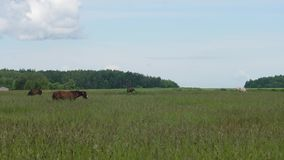 Horse on a summer pasture. stock footage