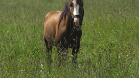 Horse on a summer pasture. stock video footage