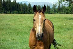 A horse on a summer's day in idaho Stock Photography