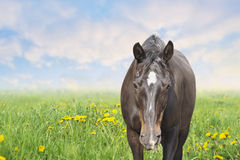 Horse on summer spring pasture with dandelion Stock Image