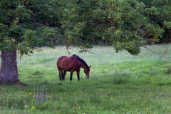 Horse in summertime. Horse eating in the summer Stock Photos