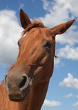Horse in the Sun Teodoro. Stock Photography