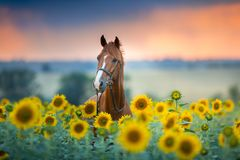 Horse on sunflowers royalty free stock photo