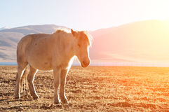 Horse in sunrise Stock Photography