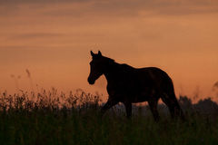 Horse in sunrise Stock Image