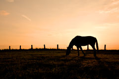 Horse in sunset. Silhouette of grazing horse in sunset Stock Photography