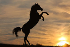 Horse in sunset. Arabian horse in sunset rearing up Stock Photos