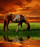 Horse in sunset. Horse grazing in a meadow at sunset Royalty Free Stock Image