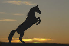 Horse in sunset. A black rearing horse silhouette in sunset Stock Image