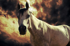 Horse in the sunset. Close view to a white horse in the sunset Stock Photo