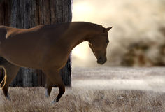 Horse at sunset. Beautiful horse at sunset in a field next to a wood barn stock image