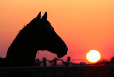 Horse at sunset. Evening walk stallion, thoroughbred horse at liberty, beautiful noble animal, magnificent landscape, horse head against the evening sky Stock Photos