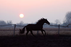 Horse at sunset. Evening walk stallion, thoroughbred horse at liberty, beautiful noble animal, magnificent landscape, stallion and the setting sun, prancing Stock Photos