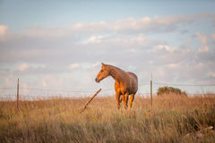 Horse at sunset. Horizontal outdoor portrait of a quarter horse looking westward during sunset Royalty Free Stock Images
