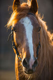 Horse at sunset Stock Image