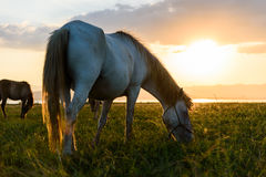 Horse on sunset. Horse on pasture at November evening near sunset Stock Image