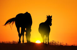 Horse at sunset. Horse silhouettes at orange sunset Royalty Free Stock Photo