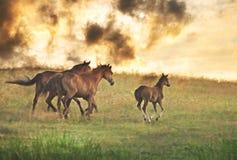 Herd of horses running royalty free stock photos
