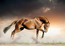 Horse in sunset. Young chestnut stallion running un sunset on the wild Stock Photos