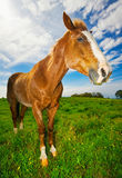 Horse in Suny Field Royalty Free Stock Images