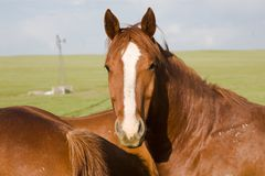 Horse with a surprised look. White faced horse with a couple of others on the prairie of Western, NE Royalty Free Stock Photo