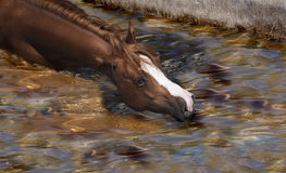 Horse swimming Stock Photo