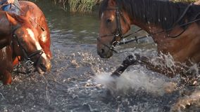 Horse is swimming in a pond in summer, slow motion stock video