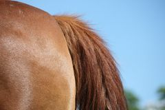 Horse tail royalty free stock photo
