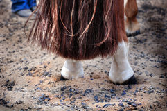 Horse tail. Abstract view of a horses long tail with black hoofs and white legs on a sandy ground in a show arena Stock Image
