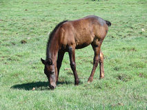 The horse without tail eats a grass Royalty Free Stock Photo