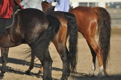 Horse Tails royalty free stock image