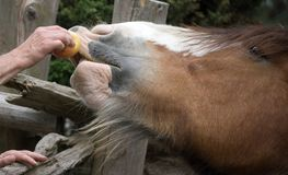 Horse taking an apple Stock Image
