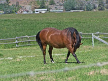 Horse taking a bow. This grace full horse seems to be Taking a bow out in the pasture Royalty Free Stock Images
