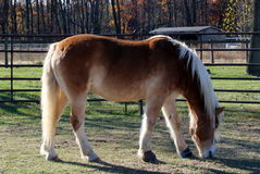 This horse is taking it easy. Relaxing on a bright autumn afternoon Stock Photography