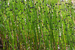 Horse tail water plant royalty free stock photos