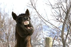 Horse talk, emphasizing a point. The horse was actually yawning but it looks like it is trying to make a great political statement Stock Photo