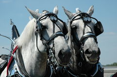 Horse Team Royalty Free Stock Photo