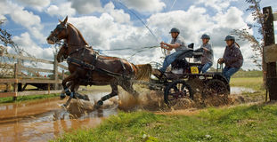 Horse team race. Driving a team of horses through the pond in the annual marathon race, Stroe, Netherlands Stock Photos