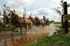 Horse team in water. Driving a team of 4 horses through the water pond in the annual marathon race, Stroe, Netherlands Stock Image