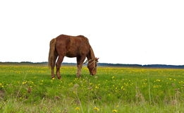 Horse tethered in a field of dandelions. Horse in a harness tethered grazing in a field of dandelions Stock Photography